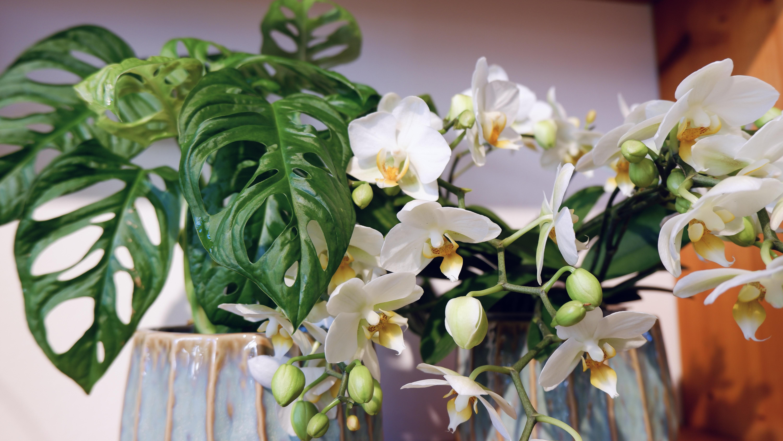 Orchideen, Alocasia